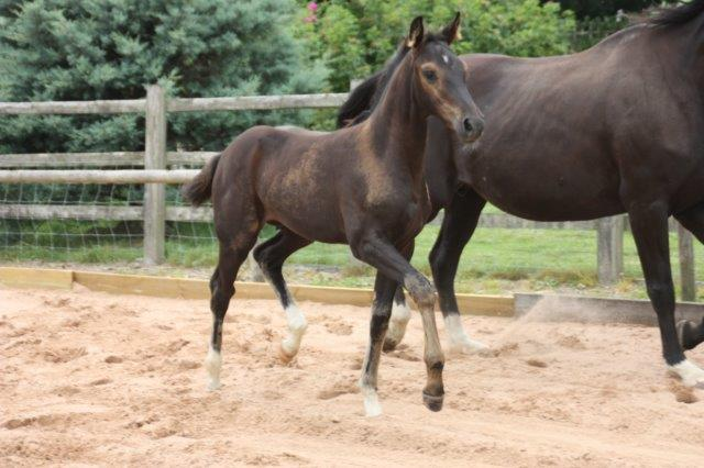 Danny - Black colt by Danone 1 out of Dark Lilian by Welt Hit 11