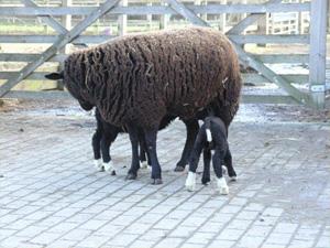 Zwartble sheep